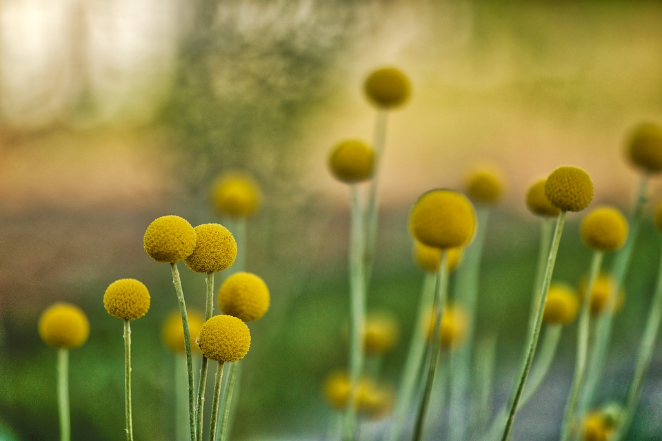 Planting Beautiful Billy Buttons