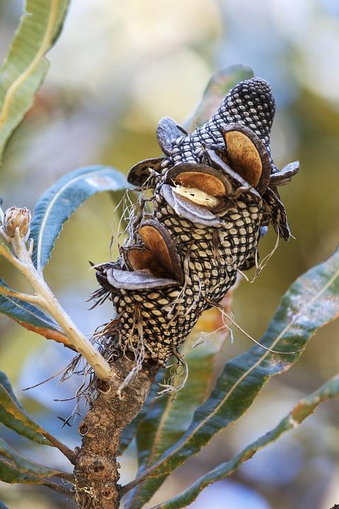 Good Banksia Seeds Fact